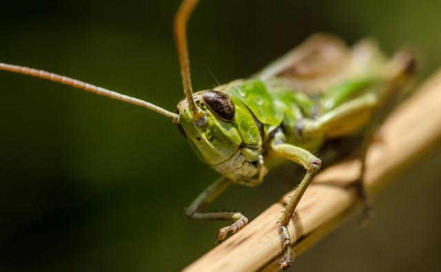 Grasshopper emerging from behind a leaf