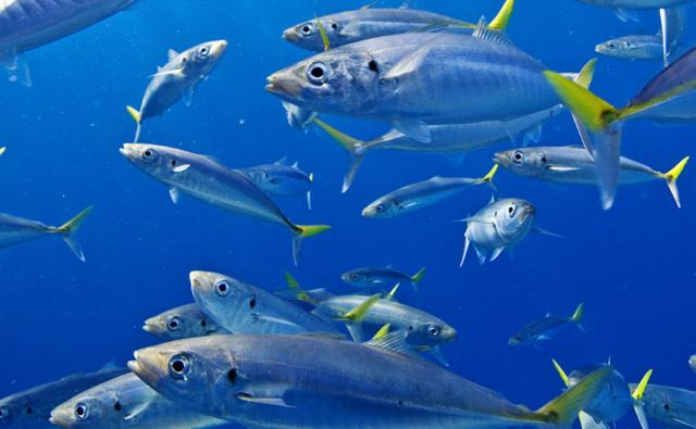 School of scad mackerel