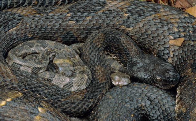 Adult timber rattlesnake coiled around its young