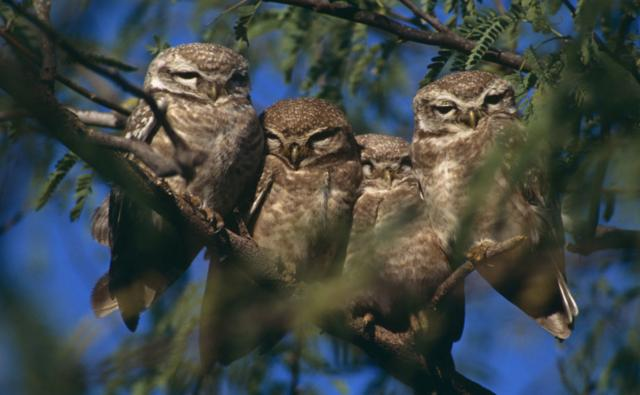 Four spotted owl youngsters perched on a branch
