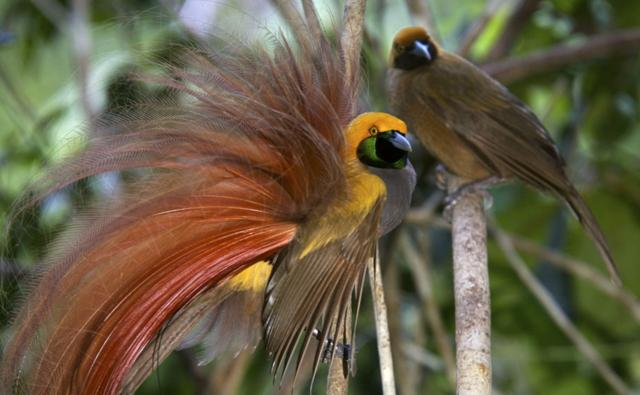 Male goldie's bird of paradise displaying to female