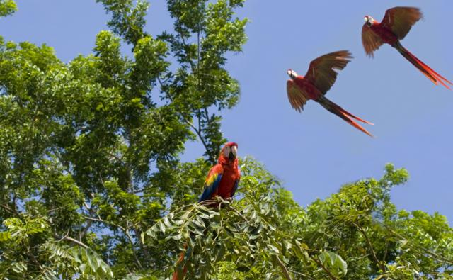 Scarlet macaws amongst the trees