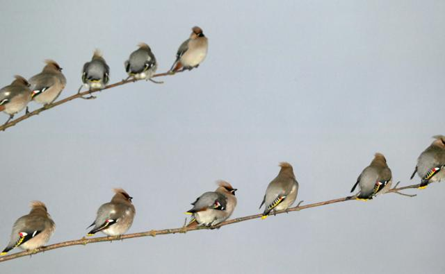 A group of waxwings sitting on a couple of branches