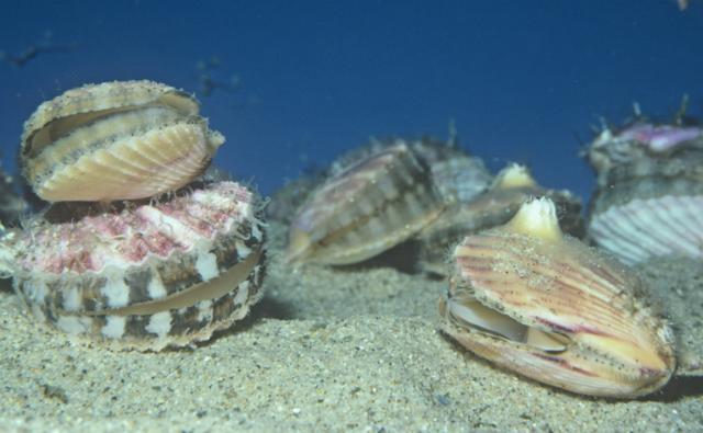 Speckled scallops on seabed