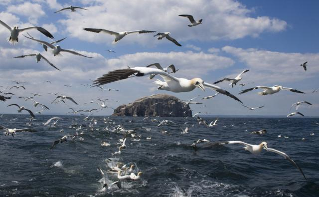 Gannets in flight, following a fishing boat to look for fish