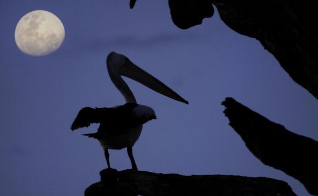 Silhouette of an Australian pelican