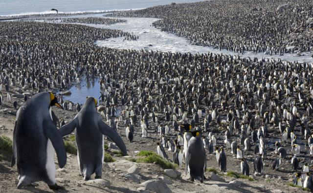 A very large king penguin colony