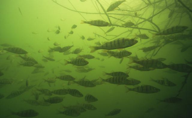A shoal of perch in murky water
