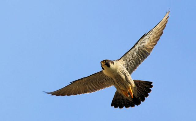 Peregrine falcon in flight (c) Jamie Skipper