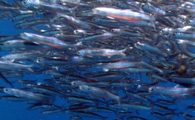 A shoal of Peruvian anchoveta