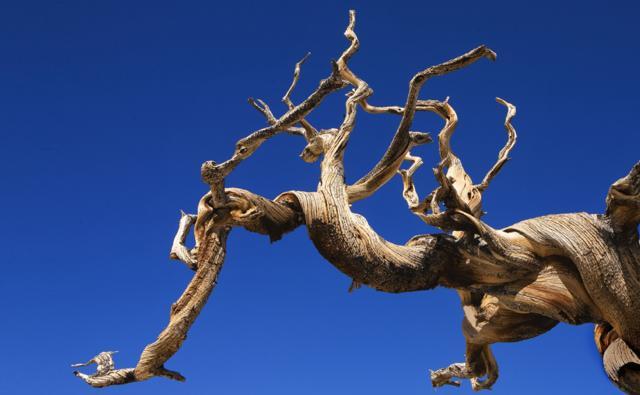 A bristlecone pine branch