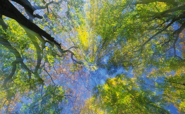 A tree canopy viewed from beneath
