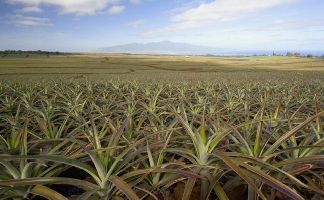 A field of pineapple plants