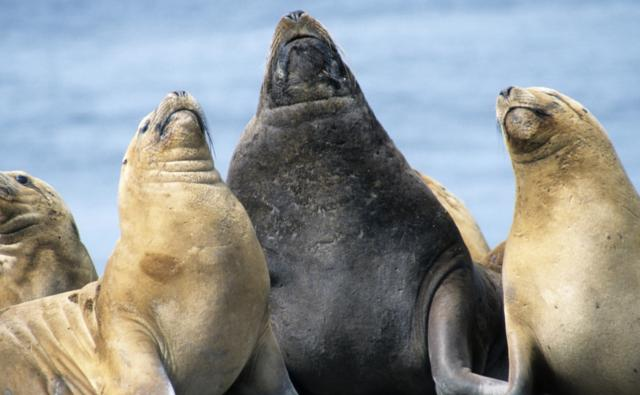 A male South American sealion with three females looking upwards