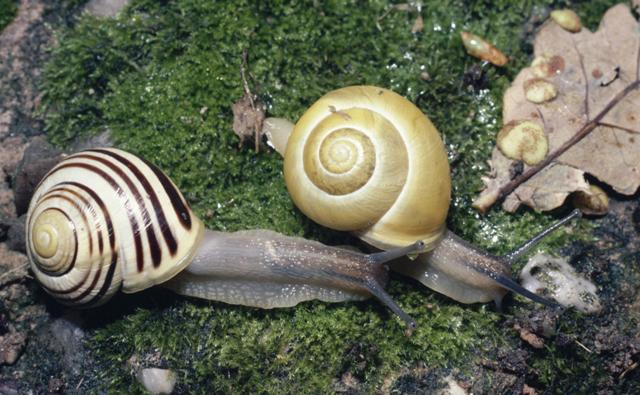 Two white-lipped snails on moss, one with a plain shell and the other with a striped shell
