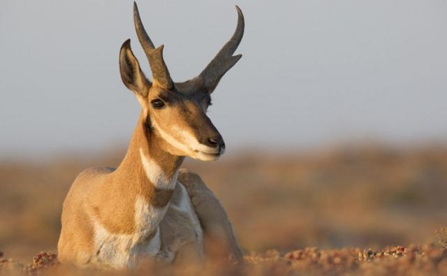 Pronghorn antelope buck sitting