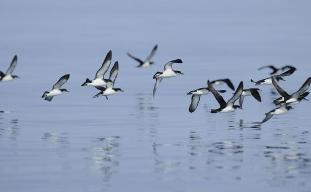 Manx Shearwater flock flying low over a smooth sea