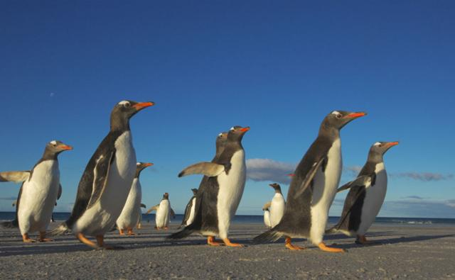 Gentoo penguins walking along a beach