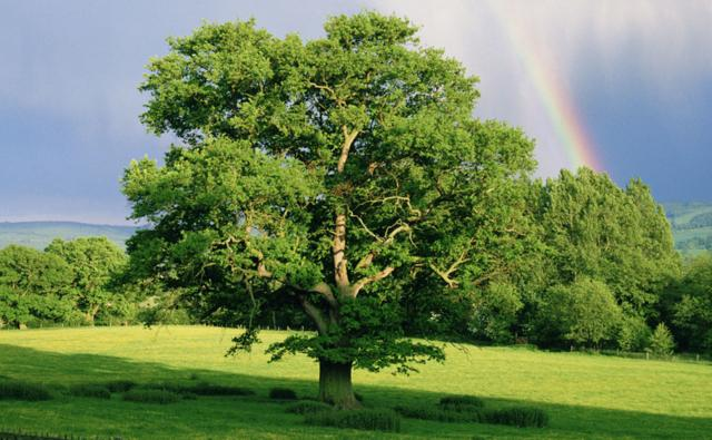 English oak tree in a field with a rainbow