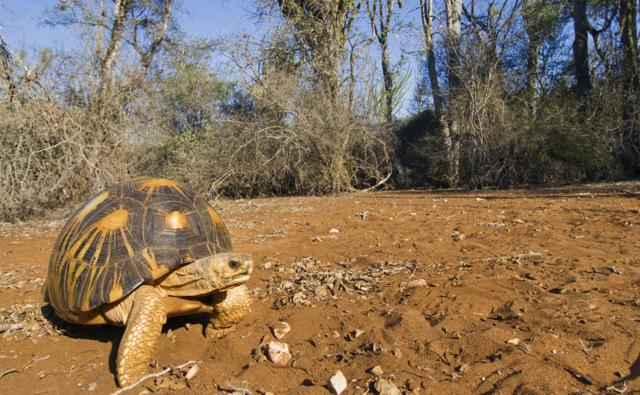 Radiated tortoise from Madagascar, Africa