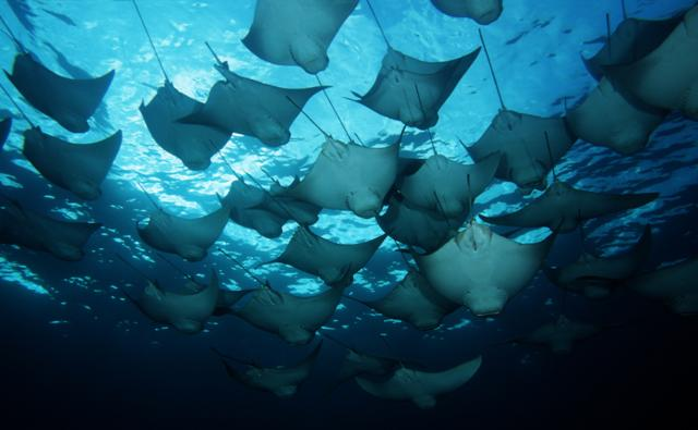A school of cownose rays