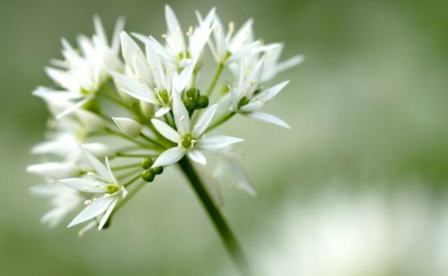 Wild garlic flower head