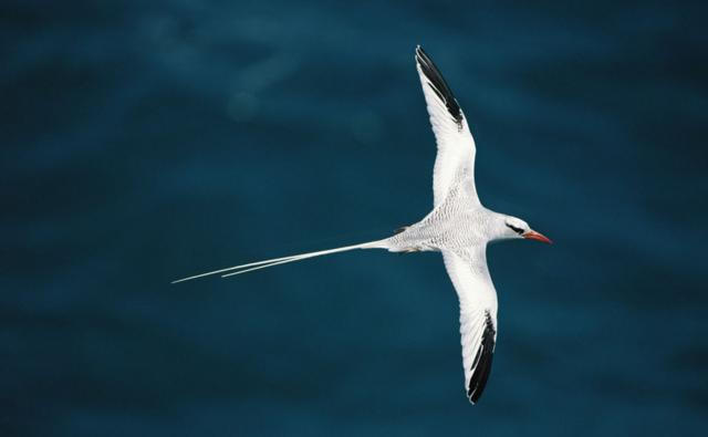 Red billed tropicbird flying over the sea