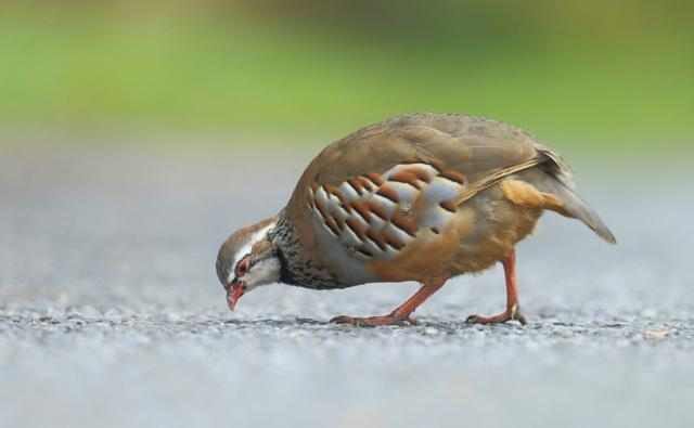 A red legged partridge (c) Gordon Linton
