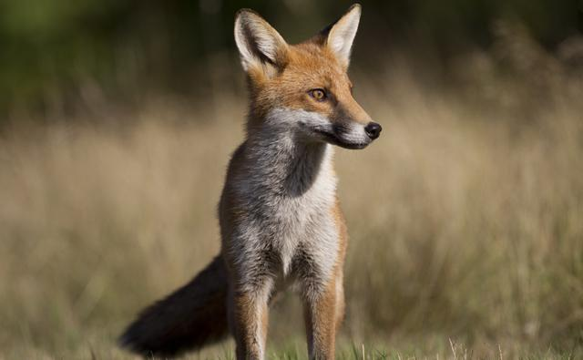 Red fox checking for danger (c) Richard McManus