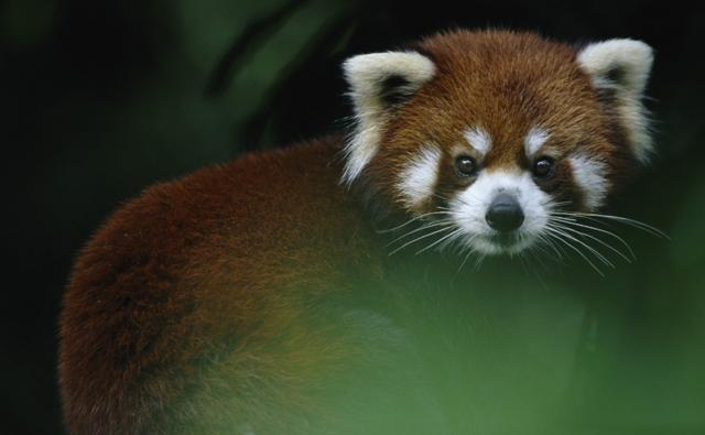 Red panda looking towards the camera