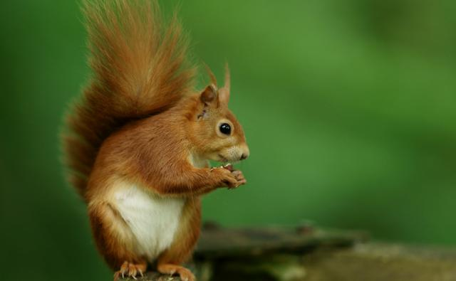 Red squirrel eating a nut (c) Peter Trimming