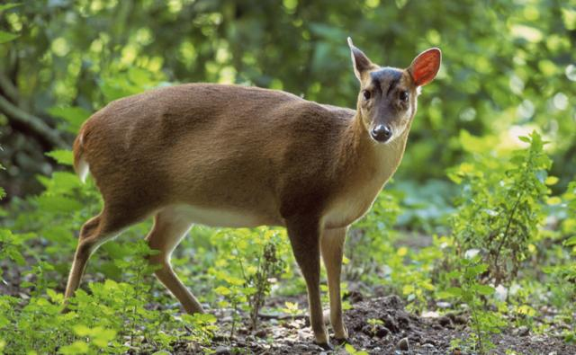 Male muntjac deer in British woodland
