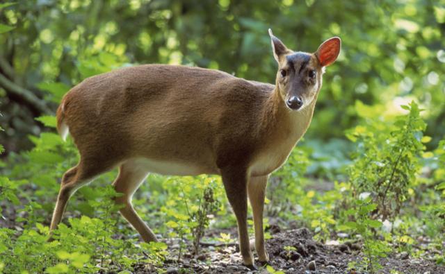 Male muntjac deer in British woodland