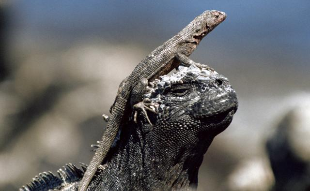 Lava lizard basking on the head of a marine iguana