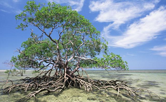 Red mangrove tree at low tide