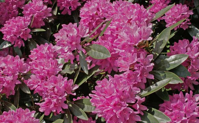 Rhododendrons in bloom in the Lake District