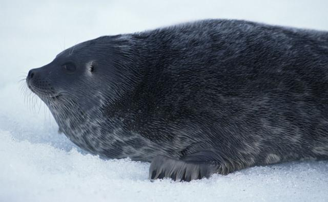 Portrait of a ringed seal