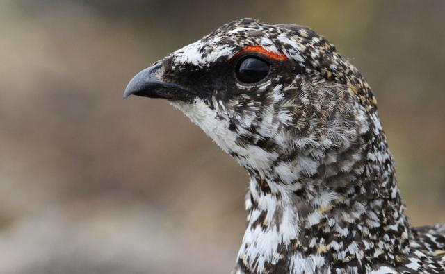 A rock ptarmigan in long grass