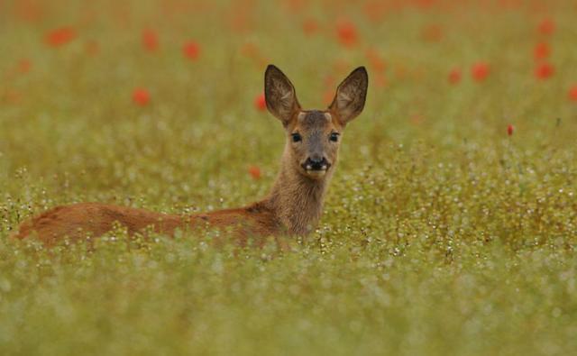 A male roe deer fawn looks alert