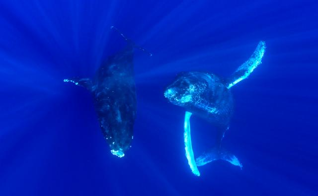 Underwater view of humpback whales swimming