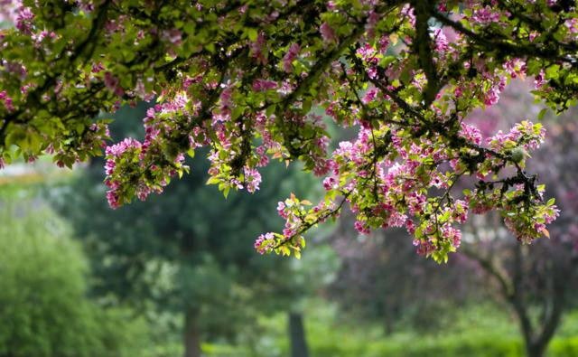 Blossoms of flowering crabapple tree in spring