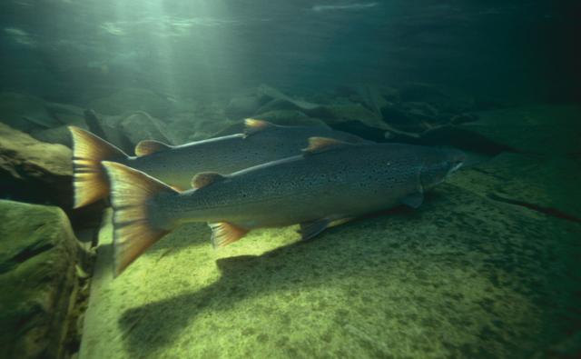 Atlantic salmon at mouth of river