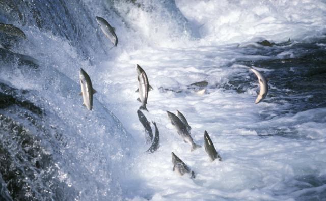 Red salmon jumping up a waterfall