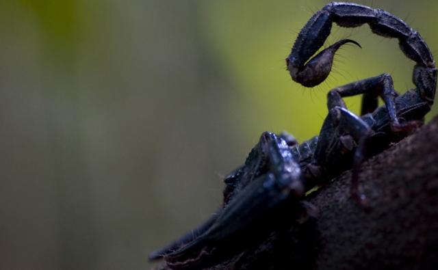 Prehistoric Scorpion http://www.bbc.co.uk/nature/life/Scorpion