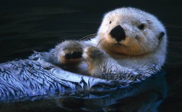 A sea otter floating on its back