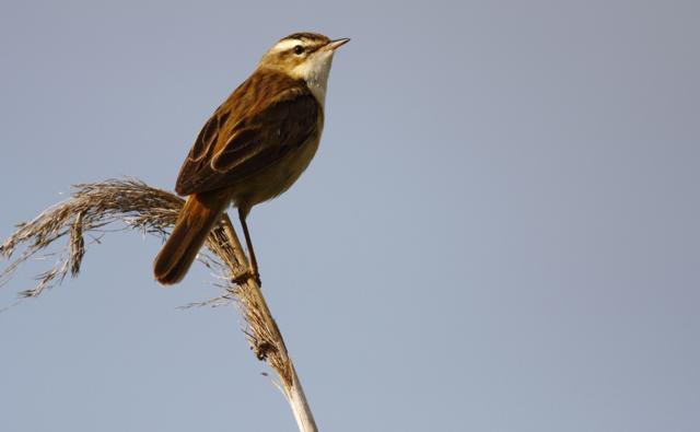 Sedge warbler perched on a reed