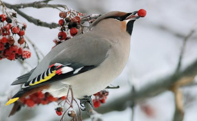 Waxwing with a red berry in its beak
