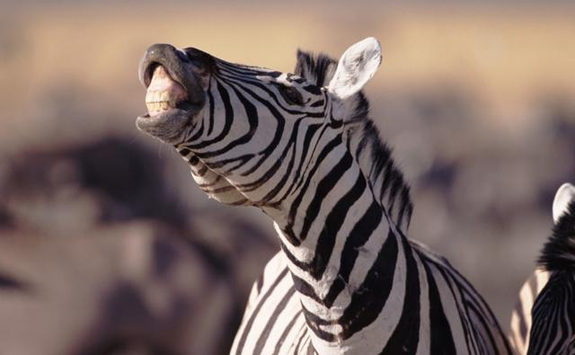 Common zebra showing the Flehmen response to scent