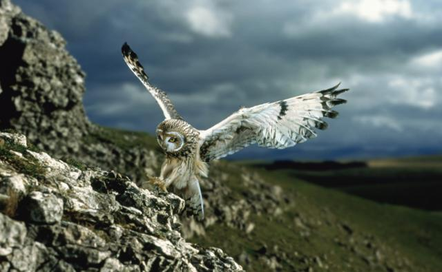 A short-eared owl landing on a rock