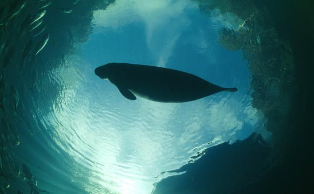 A Florida manatee is silhouetted against the sky